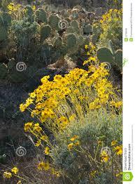 flowers tucson yellow flowers and cactuses arizona usa stock photo image of