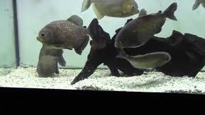 Aquascape Online Red Belly Piranhas Breeding At Aquascapeonline Com Youtube