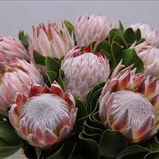 protea flower king protea allow 3 4 days when ordering miami flower market
