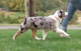 d b australian shepherds myshodog com asca ch ragtime surefire entourage u0027s profile