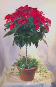 poinsettia tree christmas gifts in mi poinsettia tree