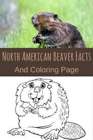 25 best north american beaver ideas on pinterest beavers busy