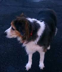 australian shepherd and border collie mix our dog scout australian shepherd border collie mix died