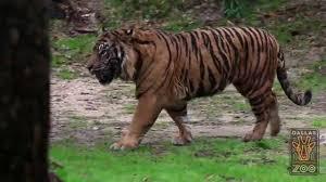 dallas zoo u0027s new sumatran tiger explores with confidence youtube