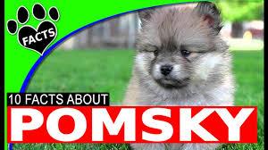 pomsky the adorable siberian husky pomeranian mix dogs 101