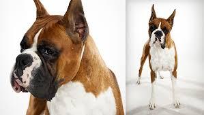 boxer dog kills man boxer dog breed selector animal planet