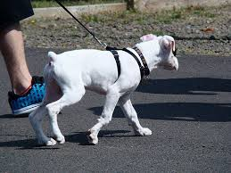 boxer dog training tips 5 tips to prevent your boxer from pulling on a leash u2013 iheartdogs com