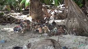 coconut crabs at dolly beach on christmas island youtube