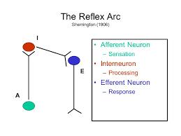 Describe A Reflex Action Biological Bases Of Mind And Behavior