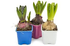 hyacinth flower how to plant hyacinth bulbs to a booming blooming