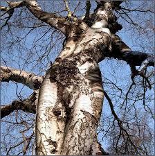 maple tree symbolism spirit walk ministry nature spirits