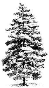pine tree clipart black and white clipartxtras