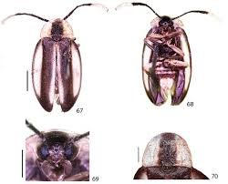 systematic review of the firefly genus scissicauda coleoptera
