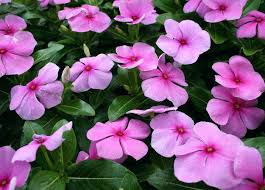 types of purple purple plant names venkatweetz me
