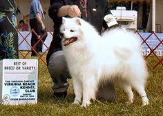 american eskimo dog breeders american eskimo dog dog portrait pinterest dog finder
