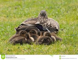 duck with ducklings stock photo image 34024340
