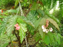 begonias begonias forest garden