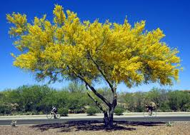 arizona native plant society 10 things you didn u0027t know about palo verde trees tucson life