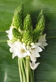 of bethlehem flower of bethlehem flowers