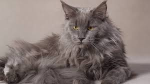 types of cat breeds in the world beautiful and popular cat