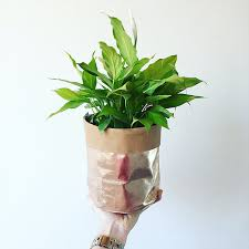 Peace Lily Love Grows Perth Growing Gifts Delivered Peace Lily Paper