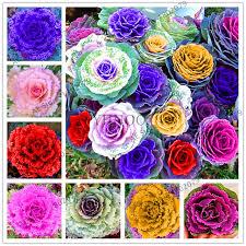 aliexpress buy 100 pcs cabbage flowers kale seeds organic