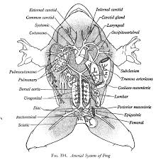 frog dissection anatomy gallery learn human anatomy image