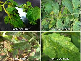 Diseases Of Tomato Plants - facts in depth vegetable disease facts
