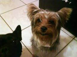 yorkies lost and found