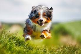 hyperactive dogs 15 most active dog breeds american kennel club