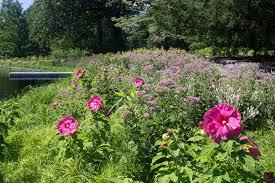 riverbanks botanical garden hibiscus archives plant talk