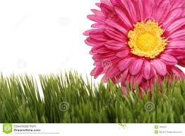 fuchsia color gerbera daisy flower on green grass royalty free