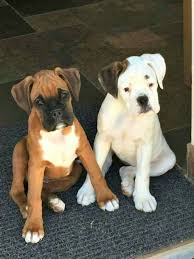 10 boxer dog facts boxer energetic and funny white boxer puppies white boxers