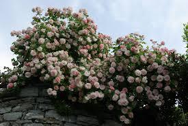 flowers garden fritz flowers rose nature nobis pink hd natural