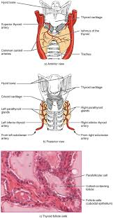 Anatomy And Physiology Cells And Tissues 17 4 The Thyroid Gland Anatomy And Physiology