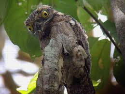 Potoo Bird Meme - hd common potoo bird images and pictures download