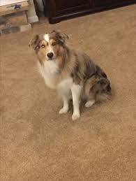 south texas australian shepherd rescue australian shepherd that tongue is always out to the side