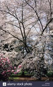 Flowering Cherry Shrub - rhs wisley surrey flowering cherry tree prunus jamasakura with