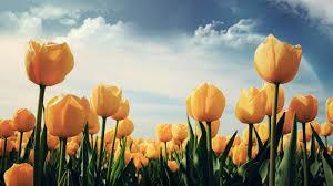 wallpaper bunga tulip eleletsitz tulip ungu wallpaper images