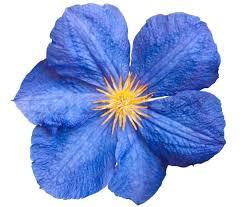 blue flower 3667967 blue flower isolated jpg 800 680 paper flowers