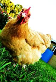 65 best backyard chickens images on pinterest backyard chickens