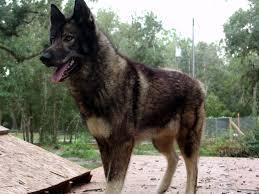 belgian sheepdog wolf mix aussie wolf mix australian shepherds pinterest wolf