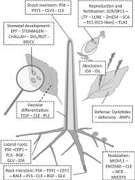 plant peptides in defense and signaling sciencedirect