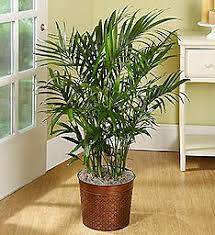 green plants send bamboo plants for any occasion 1 800 flowers com