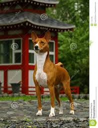 basenji near japans hous royalty free stock images image 11731799