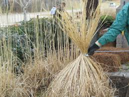 pruning ornamental grass