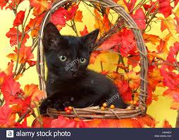 fuzzy black kitten in wicker pumpkin basket with yellow and orange