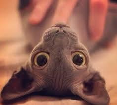 imagenes de gatitos sin frases mejores 9 imágenes de gatos sin pelo el gato sphynx en pinterest