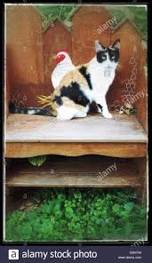 cute calico cat facing the opposite way of painted hen on a bench