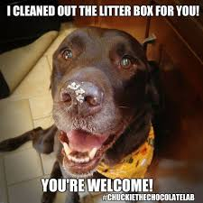 Chocolate Lab Meme - 28 best funny labrador dog images on pinterest funny labradors